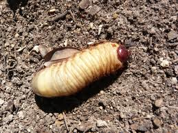 grubs-in-soil